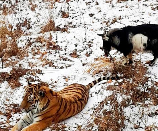 两只动物已经一起生活了四天。它们白天一起散步,一起吃饭。(网页截图)
