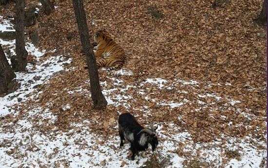 据悉,两只动物已经一起生活了四天。(网页截图)