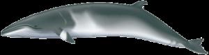 11-Minke Whale
